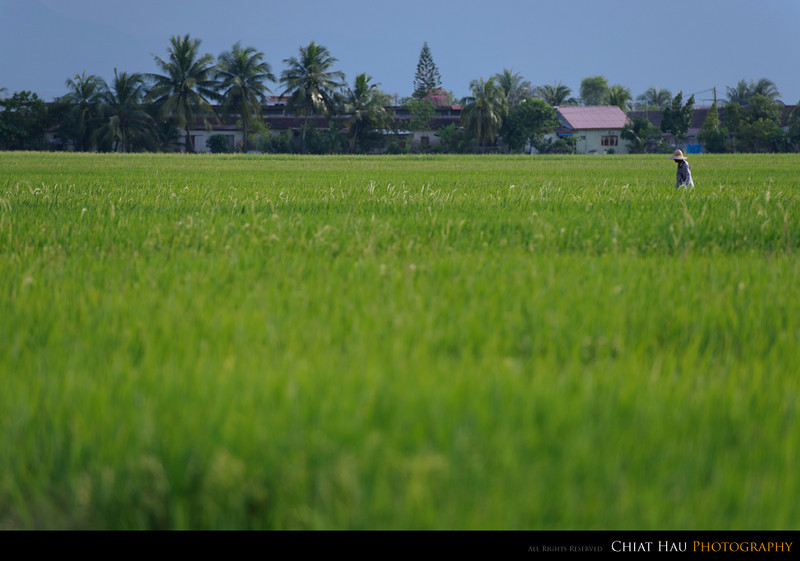 Travel Photography by Chiat Hau Photography (Padi Field at Simpang Empat)